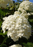 White Hydrangea Stock Photography