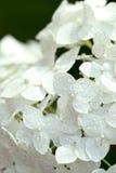 White hydrangea Stock Photography