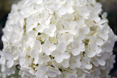 White Hydrangea. Closeup of white hydrangea bloom stock photo