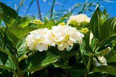 White hydrangea Stock Image