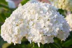 White Hydrangea arborescens Annabelle, backlit by the evening sun in summer. Flowers of smooth hydrangea Hydrangea arborescens stock photography