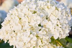 White Hydrangea arborescens Annabelle, backlit by the evening sun in summer. Flowers of smooth hydrangea Hydrangea arborescens royalty free stock photos