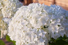 White Hydrangea arborescens Annabelle, backlit by the evening sun in summer. Flowers of smooth hydrangea Hydrangea arborescens royalty free stock image