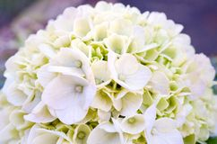 White Hydrangea Blooming Royalty Free Stock Photo