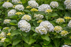 White hydrangea is blooming in a park Stock Photo