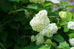 White hydrangea blooms on a large dark green bush. photo taken close up royalty free stock photo