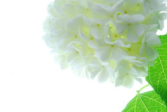 White Hydrangea Blossom Stock Image