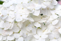 White hydrangea blossoms with dew macro Royalty Free Stock Image