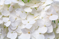 White hydrangea blossoms with dew macro Stock Image