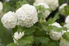 White hydrangea bush. Beautiful white hydrangea bush. Selective focus royalty free stock image