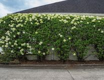 White hydrangea bush next to a physicians office. Royalty Free Stock Image
