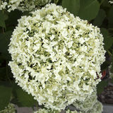 White hydrangea Royalty Free Stock Photo