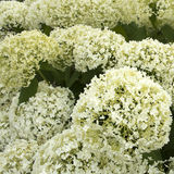 White hydrangea Royalty Free Stock Image