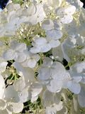 White Hydrangea Stock Images