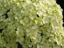 White Hydrangea flower. At the garden Royalty Free Stock Photography