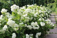 White Hydrangea flower bed Stock Photography