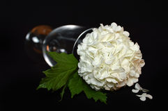 White hydrangea flower Royalty Free Stock Images
