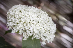White Hydrangea flower in the garden Royalty Free Stock Photo