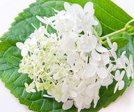White hydrangea flower on green leaf. Royalty Free Stock Photo