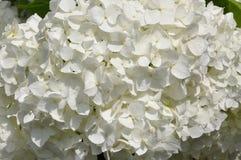 White hydrangea flower head Royalty Free Stock Photo