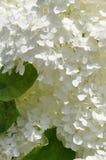 White hydrangea flower head Stock Photography