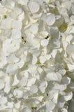 White hydrangea flower head Stock Photos