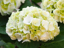 White hydrangea flower with hint of green Royalty Free Stock Images