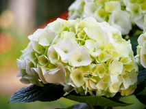 White hydrangea flower with hint of green Royalty Free Stock Photo