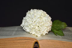 White hydrangea flower and old book Royalty Free Stock Photos