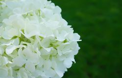 White Hydrangea Flower. An up close view of a white Hydrangea flower in full bloom stock photos