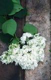 White Hydrangea flower Stock Photo