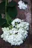 White Hydrangea flower Stock Images