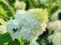 White hydrangea flower. In the gardan Stock Image