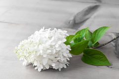 White Hydrangea flower on wooden table. Stock Photos