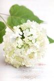 White hydrangea flower Stock Photos