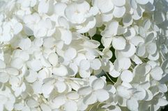 White hydrangea flowers. background, nature. stock image