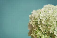 White hydrangea flowers on blue vintage backdrop, beautiful floral background Stock Photos