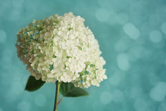 White hydrangea flowers on blue vintage backdrop, beautiful floral background Royalty Free Stock Images