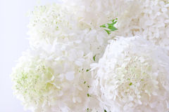 White hydrangea flowers Stock Image