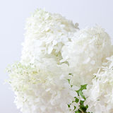 White hydrangea flowers Stock Photography