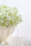 White hydrangea flowers Stock Images