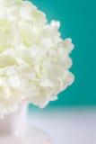 White hydrangea flowers Royalty Free Stock Photos