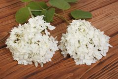 White hydrangea flowers with green leaves on a wooden Stock Images