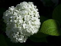 White hydrangea flowers and green sheet with raind Royalty Free Stock Images