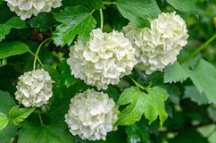 White Hydrangea flowers, hortensia green bush, close up outdoor.  Stock Photo