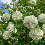 White hydrangea flowers Stock Photos