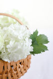 White hydrangea flowers Royalty Free Stock Images
