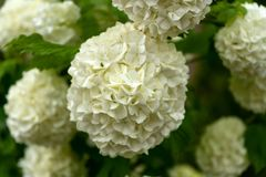 White Hydrangea flowers in the summer garden royalty free stock images