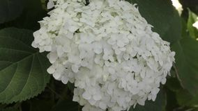 White hydrangea flowers stock video footage