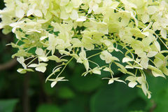 White Hydrangea (Hortensia) in bloom. Royalty Free Stock Photography